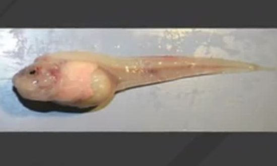 Newly Discovered Species Is the Deepest Fish Found in the Ocean