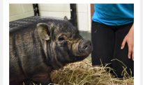 Potbellied Pig Rescued in the Bronx Gets Forever Home