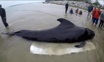 80 Plastic Bags Found in Dead Whale's Stomach
