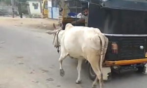 Calf is separated from mother, but look at what she does in a panic—they're not gonna outrun her
