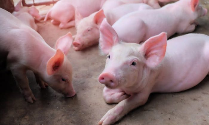 Pigs and humans have a lot in common, particularly their digestive tracts. (Krumanop/Shutterstock)