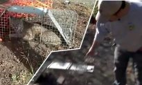 It's 'Bobcats vs. Chickens' Say Bay Area Residents, and Warn Humans Could Get Hurt