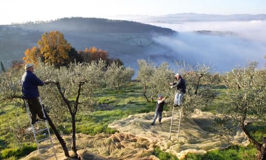 How to Make Superlative Olive Oils: Give Olive Trees a Hard Time