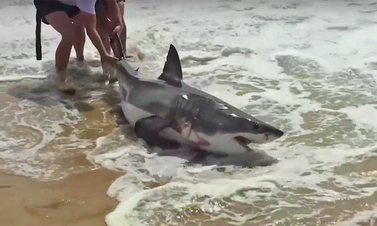 Great white shark is struggling on beach—but watching what these two people do—I'm nervous