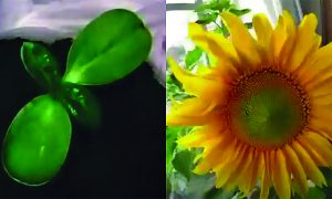 They plant 7 sunflower seeds, but when only one of them gets harvested—look what happens with others