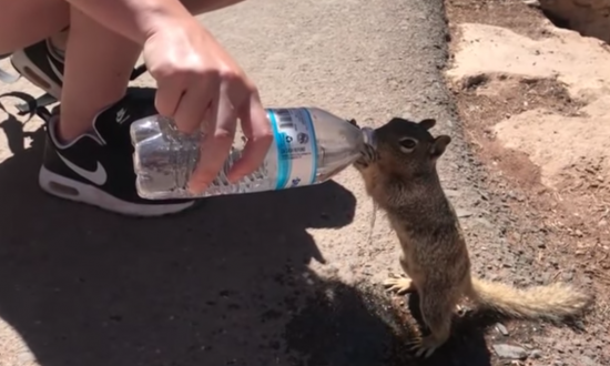 Tourists at Grand Canyon open bottle of water when they see desperate squirrel approaching