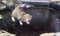 Cat desperately tries to get fish that are swimming in a frozen pond