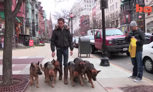 'Dog whisperer' proves how good he is by leading pack of German Shepherds in NYC without leashes