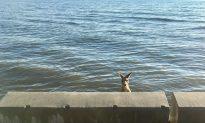 Kangaroo Rescued From Neck-High Seawater