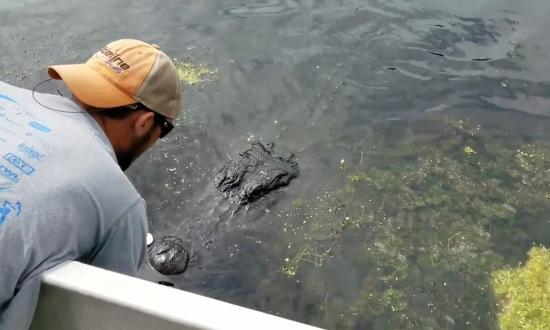 Swamp tour runs head-on into alligator