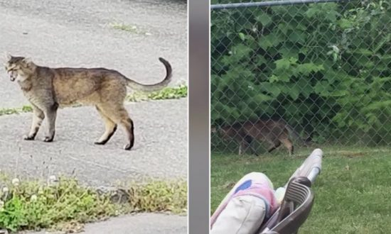 "Police receive unconvincing ""cougar"" sighting reports from neighborhood"