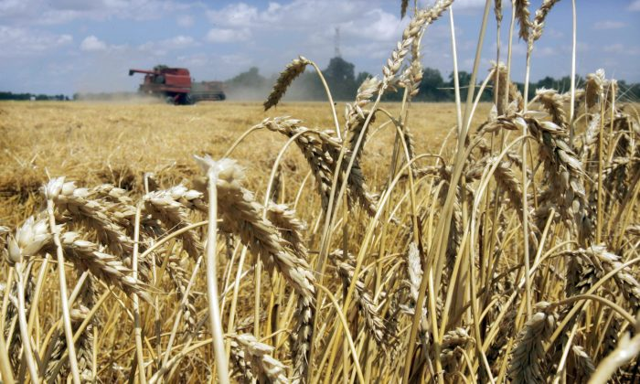 Japan and South Korea have halted imports of Canadian wheat due to some unauthorized genetically modified plants having been discovered in southern Alberta. Modified wheat is not approved for commercial use anywhere in the world. (AP Photo/Danny Johnston, File)