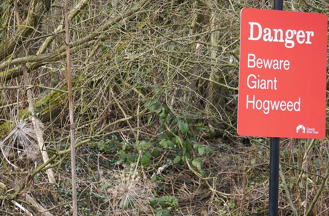 A sign warning people not to go near hogweed taken on March 7, 2015. (Smabs Sputzer