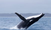Authorities Struggle to Free Whale From Fishing Gear in Western Australia