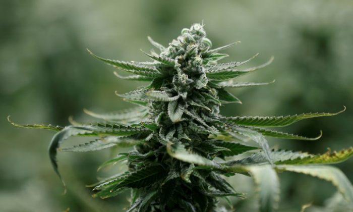 A flowering marijuana plant. (Reuters/Chris Wattie)