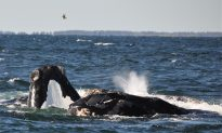 Right Whale Sightings Lead to More Fishing Closures off Atlantic Coast