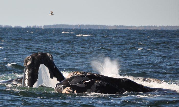 North Atlantic right whales. (Jolinne Surrette)