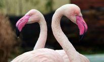 Flamingo at an Illinois Zoo Was Put Down After a Child Threw a Rock at It