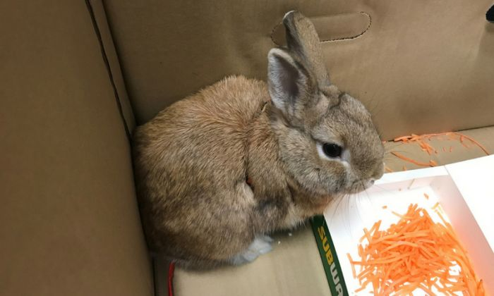 Rabbit abandoned at Adelaide airport on June 27, 2018. (Supplied/RSPCA)