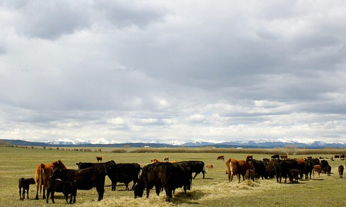 This May 21, 2003 file photo shows Alberta cattle feeding on a ranch outside Calgary, Canada.  The prices charged for imported U.S. dairy to Canada have been a sticking point in U.S.-Canada trade negotiations. (DAVID BUSTON/AFP/Getty Images)