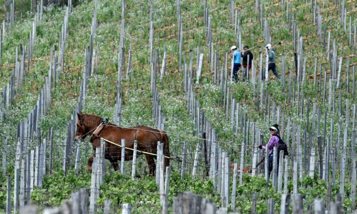 A worker plows to remove weeds with a horse in a vineyard of the Chateau Troplong Mondot in Saint-Emilion, near Bordeaux, southwestern France, on April 26, 2018. (Georges Gobet/AFP/Getty Images)