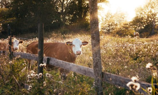 On Robert Frost's 'The Pasture' and William Carlos Williams's 'The Red Wheelbarrow'