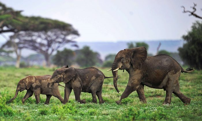 Traders use loophole to get illegal ivory to the market