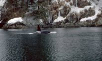 Pacific Northwest Killer Whales Threatened