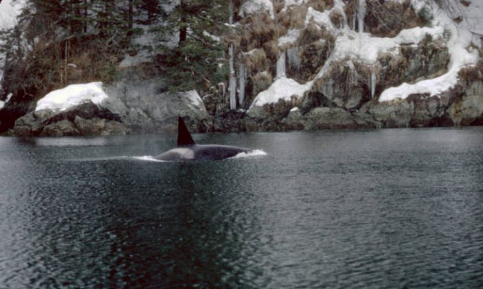 In this file photo, an orca is seen in Prince William Sound in Alaska. (U.S. Fish and Wildlife Service)