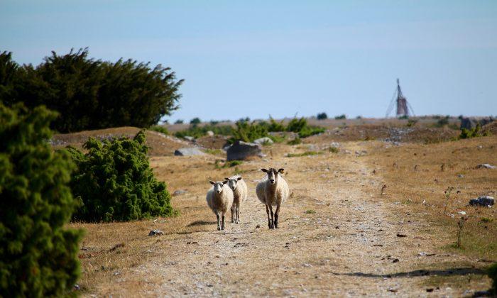 Sheep on the drought-hit Fårö island, Sweden, July 10, 2018. (Susanne W. Lamm/Epoch Times)