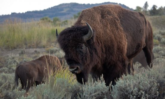 Banff Holds Ceremony With Indigenous Elders Before Letting Bison Roam