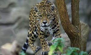 Questions Remain about Jaguar Escape at New Orleans Zoo