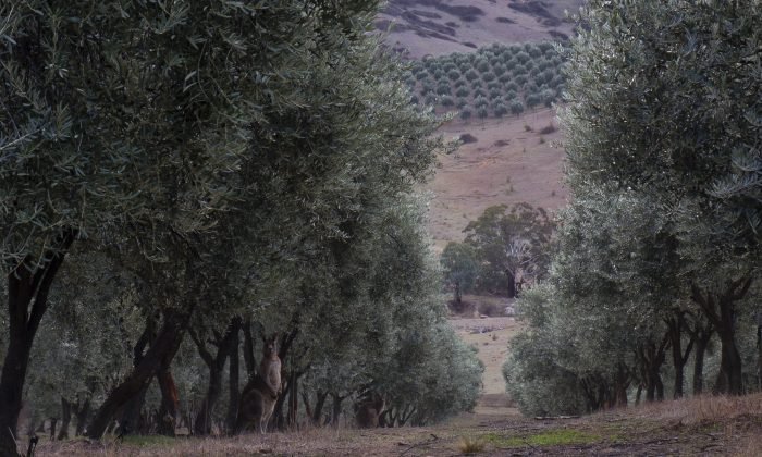 Premium Olive Oil Fresh From Australia