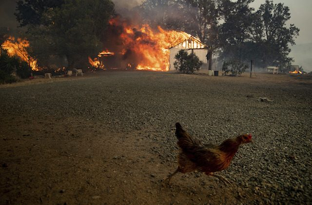 An animal scrambles while flames consume structures as the River Fire burns in Lakeport, Calif., on July 31, 2018. (AP Photo/Noah Berger)