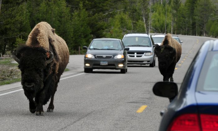 American Bison (also known as Buffalo) join the morning commute on Highway 89 at Yellowstone National Park, Wyoming on June 1, 2011. (Mark Ralston/AFP/Getty Images)