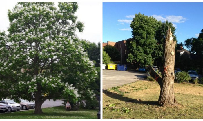 (L) Catalpa tree in bloom, June 2018. (R) Same catalpa mercilessly hacked to a stump, July 2018. (Courtesy of Ilse Kyssa)
