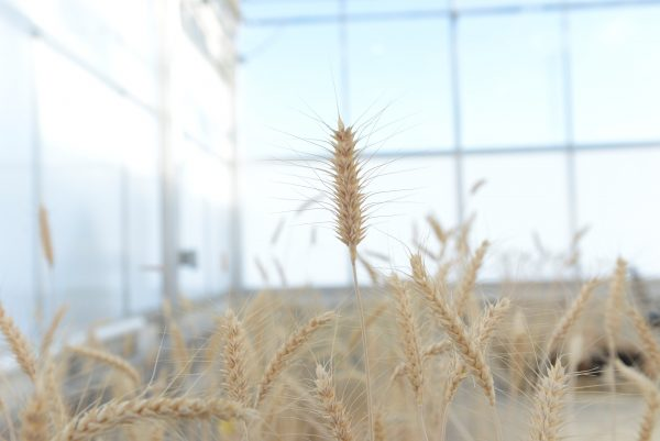 Mature high-fiber wheat plants are grown in a Calyxt greenhouse.