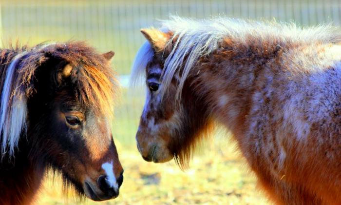 Suzie Q and Missy. (Courtesy of Mountain Horse Farm)