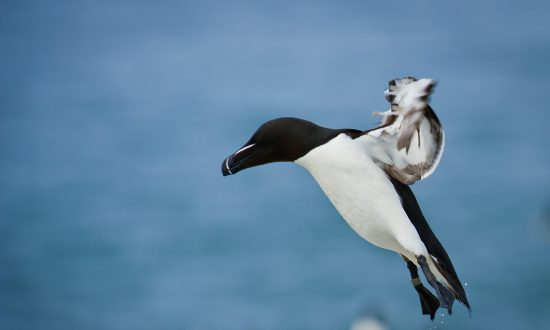 International Bird Rescue Reporting Starving Murres Along Northern Coast