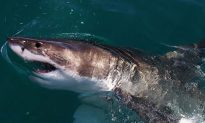 Shark Attack in Cape Cod Is the First Since 2012