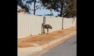 Desperate Birds—Emus Hunt for Water in Drought-Ridden Australia