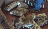 Thriving US Import Market for Giraffe Parts Revealed in Report