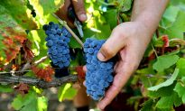 Champagne Winegrowers Toast to Early Harvest Season