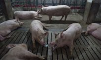 African Swine Fever Detected in South Korea as UN Warns of Spread From China to Other Countries