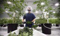 Yes, Marijuana Can Be Addictive