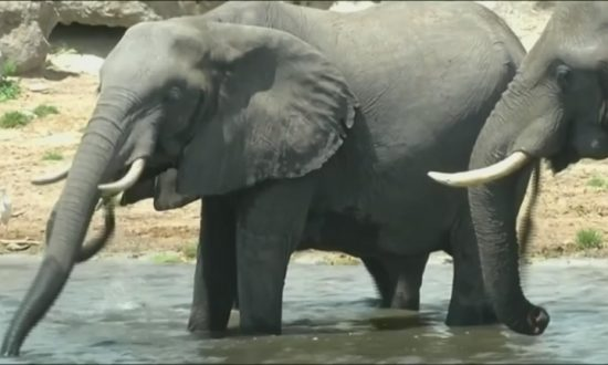 87 Elephants Found Slaughtered in Botswana, Africa