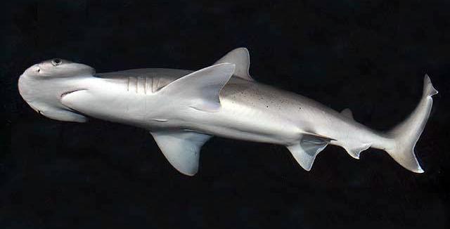 Bonnethead shark, Sphyrna tiburo. (D Ross Robertson/Public Domain)