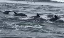 Dolphin Super Pod Filmed Near California Coast