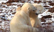 An Awesome Polar Bear Tour in Churchill, Manitoba