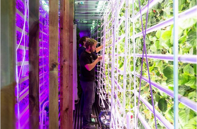 Agricool's strawberries are grown vertically inside shipping containers, using LED lights. (Agricool)